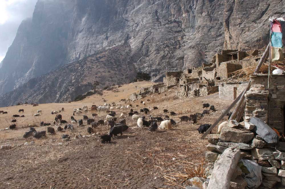 Une image rare, à mi-décembre, tous les habitants de Phu ont déménagés à Kyang pour l'hiver avec chèvres et chevaux.  Les yacks, eux, sont encore en montagne et les vaches en pature pas très loin.