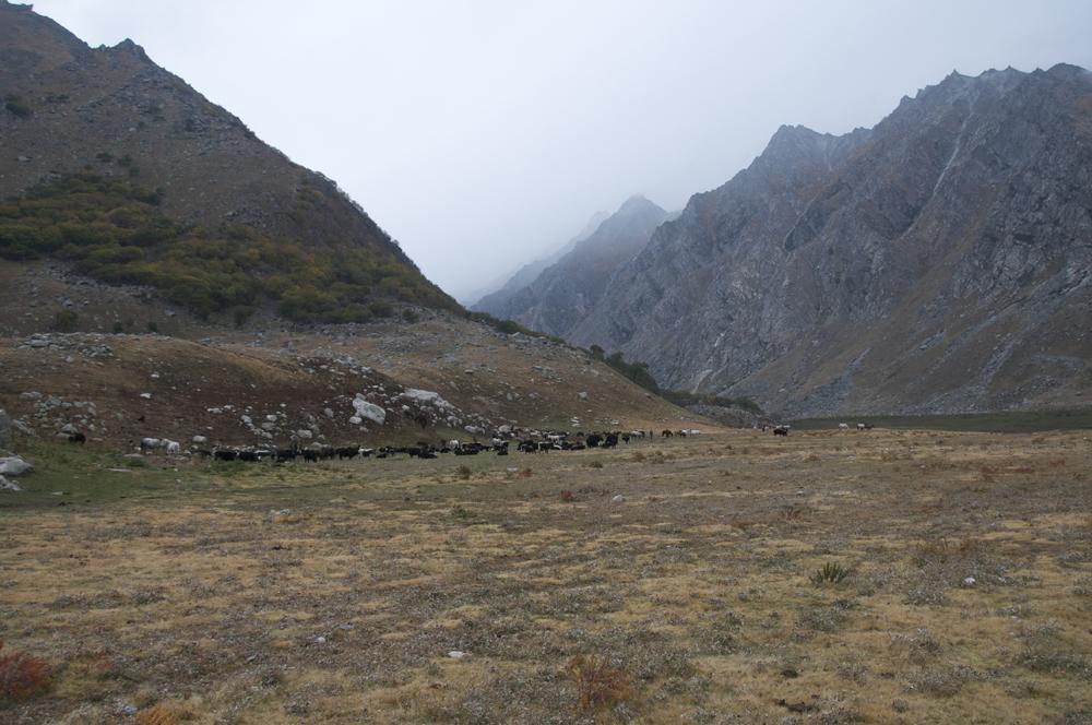 D'autres troupeaux son rassemblés, ici à l'entrée de la vallée de Lore Khola.